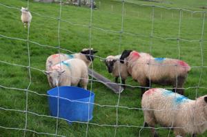 Les moutons de Kerry